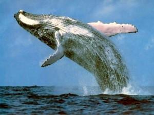 Ballenas-Jorobadas-Bahía-de-Samaná